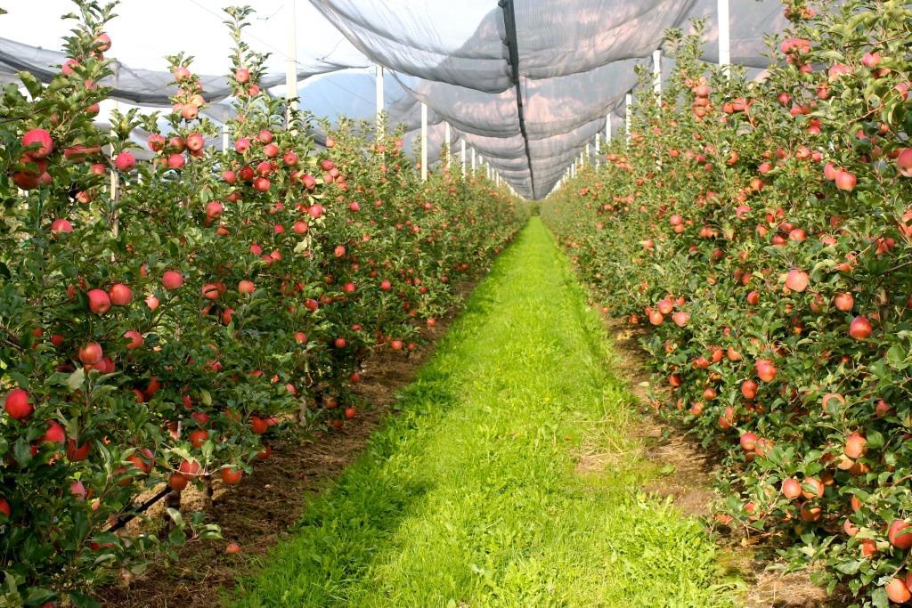Pink lady e u i r presentano 2 cuori e 1 solo amore - Mele fuji coltivazione ...