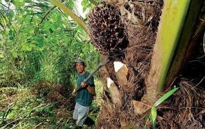 olio-di-palma1