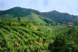 vineyard_5188