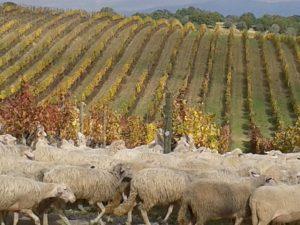 carpineto-vigneto-nobile-di-montepulciano